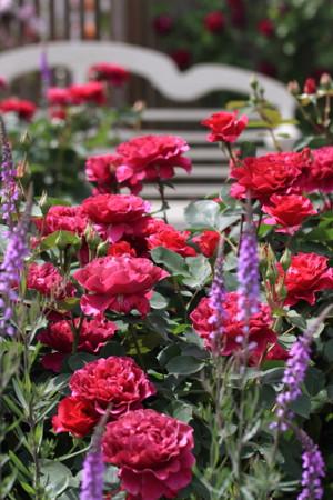 Img_0134rose_gardenrosegarden