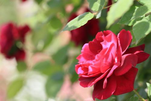 Img_0151rose_gardenrosegarden