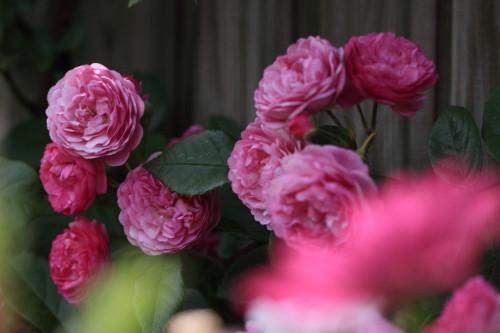 Img_0161rose_gardenrosegarden