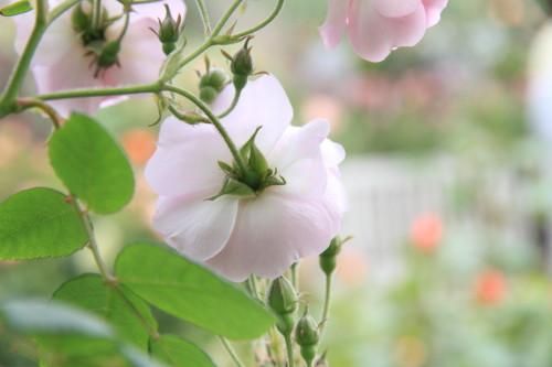 Img_0310rose_gardenrosegarden