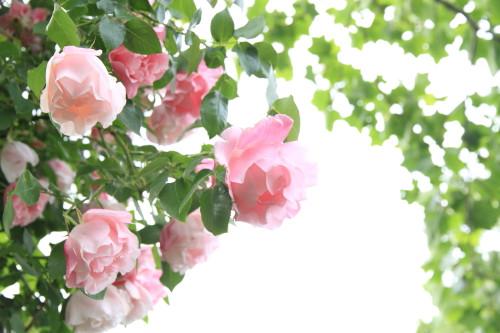 Img_0330rose_gardenrosegarden
